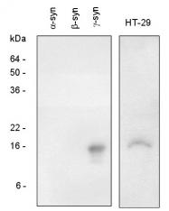 AP22638PU-N - Gamma-Synuclein / SNCG