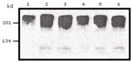 AM20707PU-N - c-Myc Epitope Tag (EQKLISEEDL)