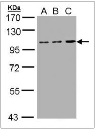 AP23167PU-N - CD71 / TFRC