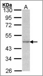 AP23161PU-N - Actin gamma / ACTG