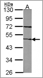 AP23153PU-N - Coagulation factor VII (F7)