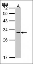 AP23148PU-N - CD178 / Fas Ligand