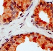 AP22694PU-N - CD178 / Fas Ligand