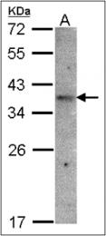 AP23094PU-N - GPR164 / OR51E1