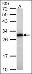 AP23089PU-N - GRB2  / ASH