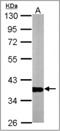 AP23085PU-N - GAPDH