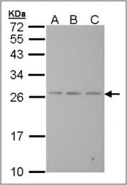 AP23082PU-N - Bcl-2-like 7