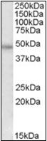 AP23067PU-N - Thrombin receptor / F2R