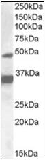 AP23066PU-N - NR1I2