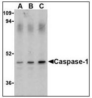 AP22861PU-N - Caspase-1