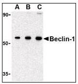 AP22864PU-N - Beclin-1