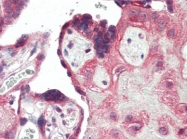 AP22865PU-N - CD283 / TLR3