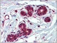 AP23052PU-N - Insulin-degrading enzyme