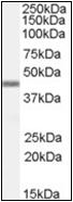 AP23049PU-N - APOBEC3G
