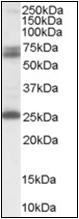 AP23035PU-N - GAD2 / GAD65