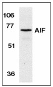 AP22915PU-N - AIFM1 / AIF