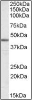 AP23031PU-N - ACTA2 / aortic smooth muscle Actin