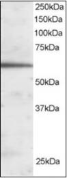 AP23027PU-N - FOXA2 / HNF3B