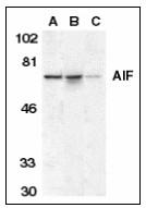 AP22931PU-N - AIFM1 / AIF