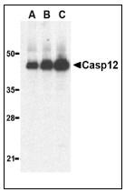 AP22935PU-N - Caspase-12
