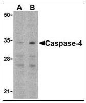 AP22937PU-N - Caspase-4
