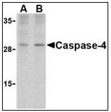 AP22938PU-N - Caspase-4