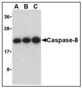 AP22941PU-N - Caspase-8 / FLICE