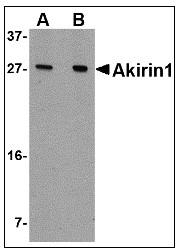 AP22954PU-N - AKIRIN1