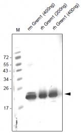 AP26028PU-N - Gremlin-1 / GREM1