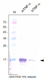 AP26031PU-N - Tumor necrosis factor (TNF-alpha)