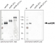 AP26034PU-N - CD309 / VEGFR-2 / Flk-1