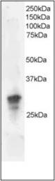 AP23021PU-N - GRB2  / ASH