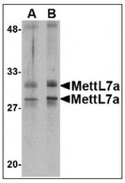 AP23001PU-N - METTL7A