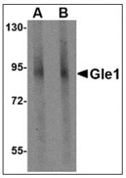 AP23007PU-N - GLE1 / GLE1L