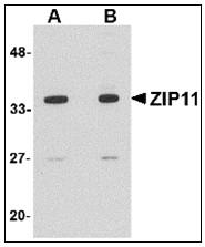 AP23010PU-N - SLC39A11 / ZIP11