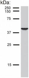 SM1822B - Cytokeratin 19