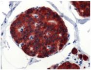 AP15805PU-M - Synaptophysin / SYP