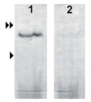 AP23440SU-N - Uroguanylin