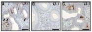 AP23446SU-N - Relaxin receptor 1 / RXFP1