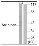 AP23463PU-N - pan Actin