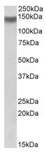 AP23658PU-N - Integrin alpha-11 / ITGA11