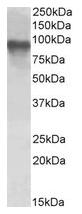 AP23665PU-N - CRTC2 / TORC2