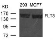 AP09468PU-N - CD135 / FLT3