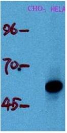 AM20653PU-N - TP53 / p53