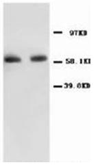 AP23407PU-N - RELA / NF-kB p65