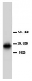 AP23338PU-N - Aquaporin-4 / AQP4