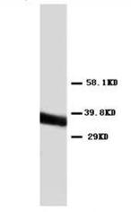 AP23294PU-N - Annexin A5 / ANXA5