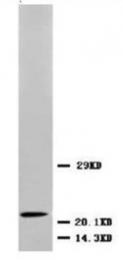 AP23288PU-N - BDNF