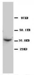 AP23286PU-N - CD195 / CCR5