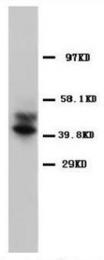 AP23283PU-N - CD197 / CCR7